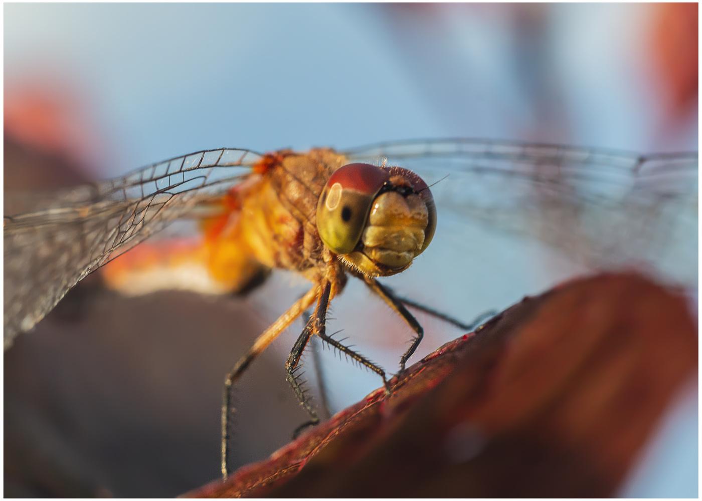 Dragonfly by Daniel Frost
