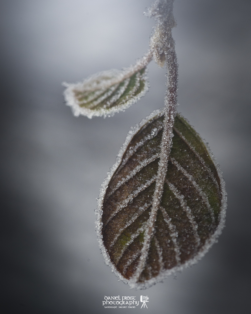 Frosty Leaf by Daniel Frost