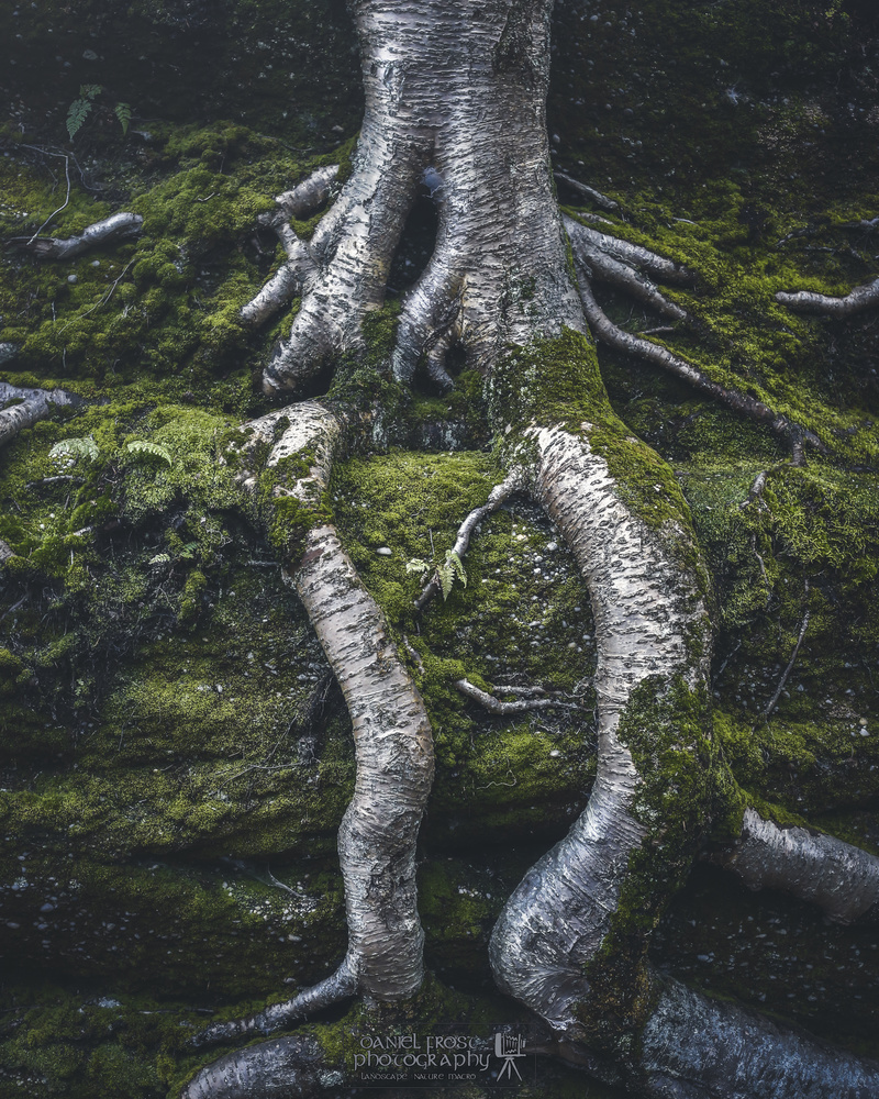 Yellow Birch Roots by Daniel Frost