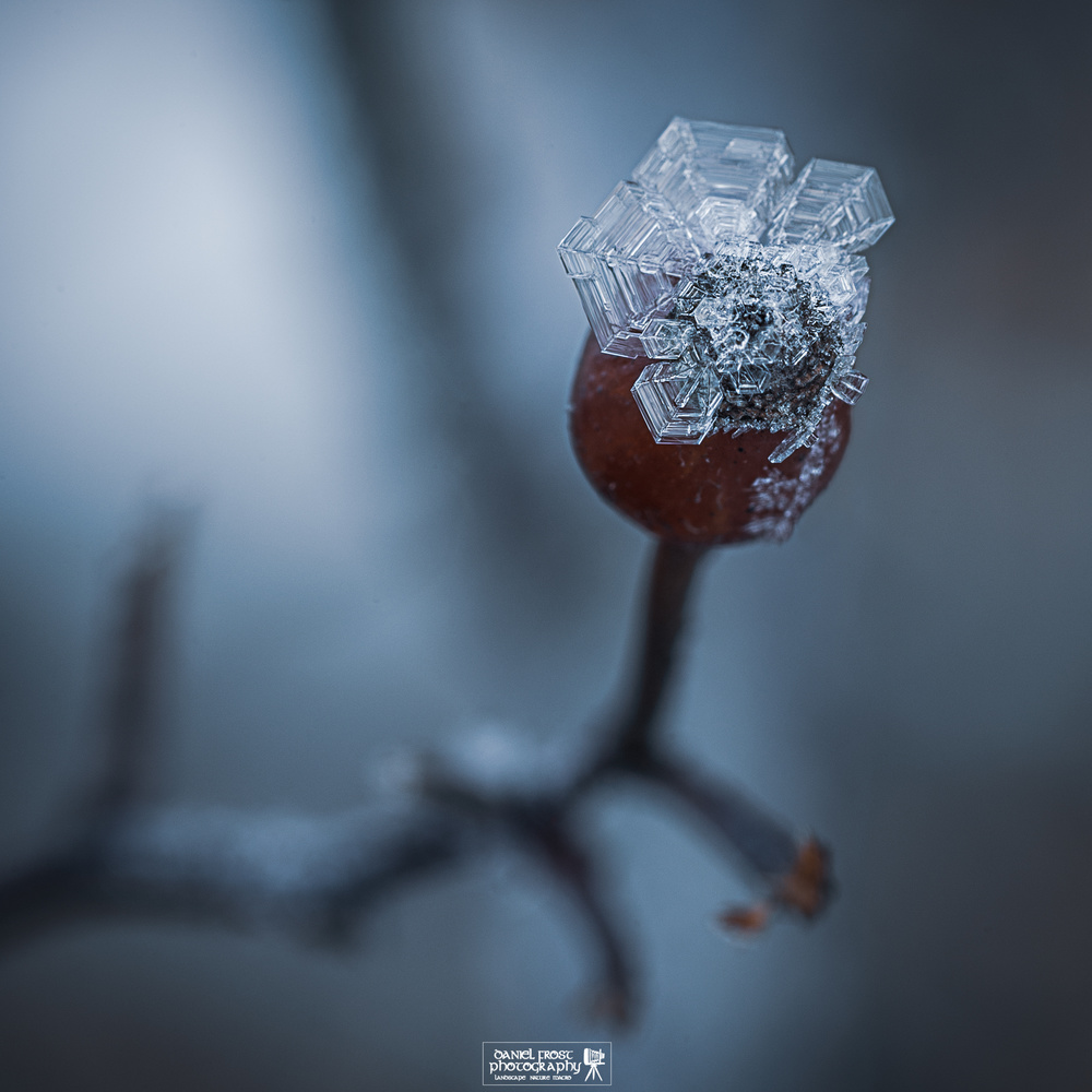 Winter Berry by Daniel Frost