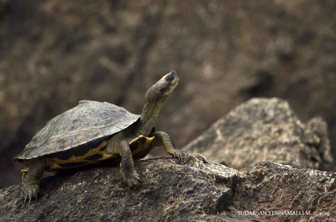 Indian roofed turtle by Sudarsan Yennamalli M.