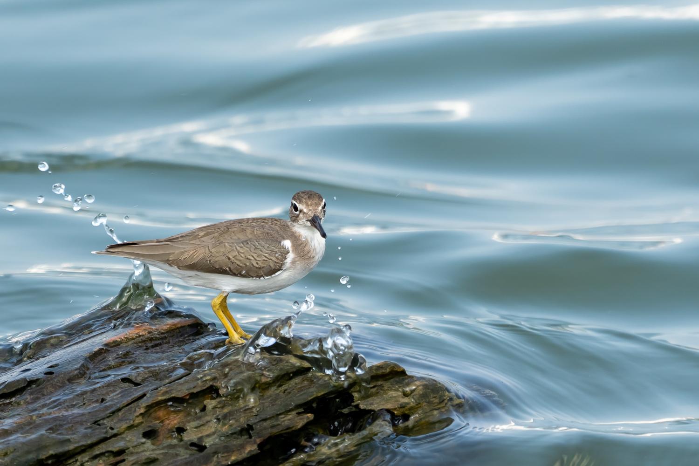 Sandpiper on the Rio Panuco by Jason Boren