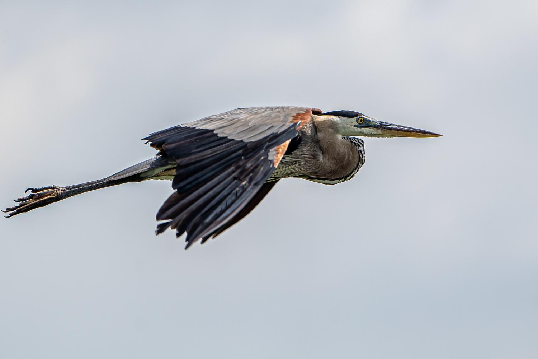 Cruising Blue Heron by Jason Boren