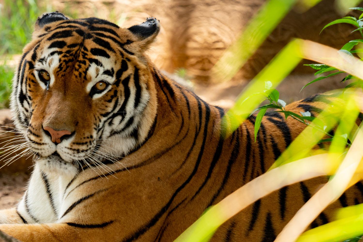Resting Tiger by Juan Siekavizza