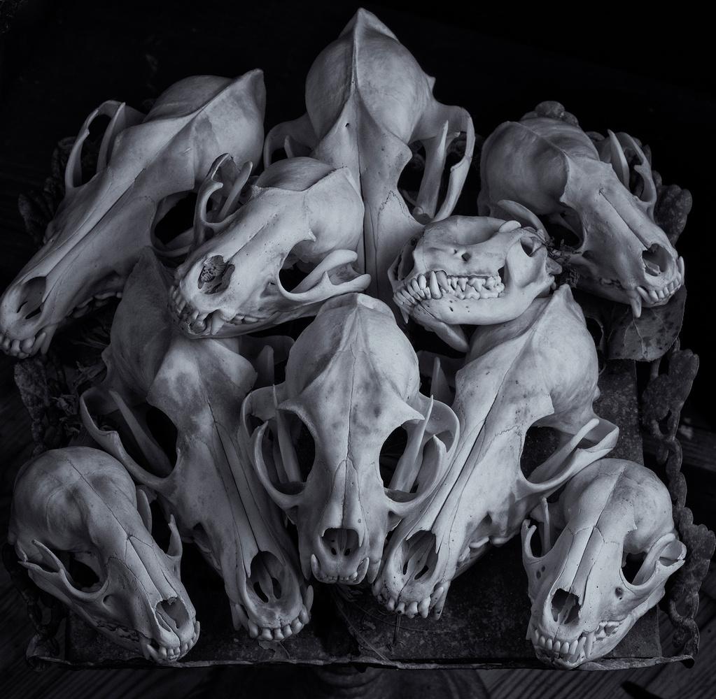 Animal Skulls by Dan Howell