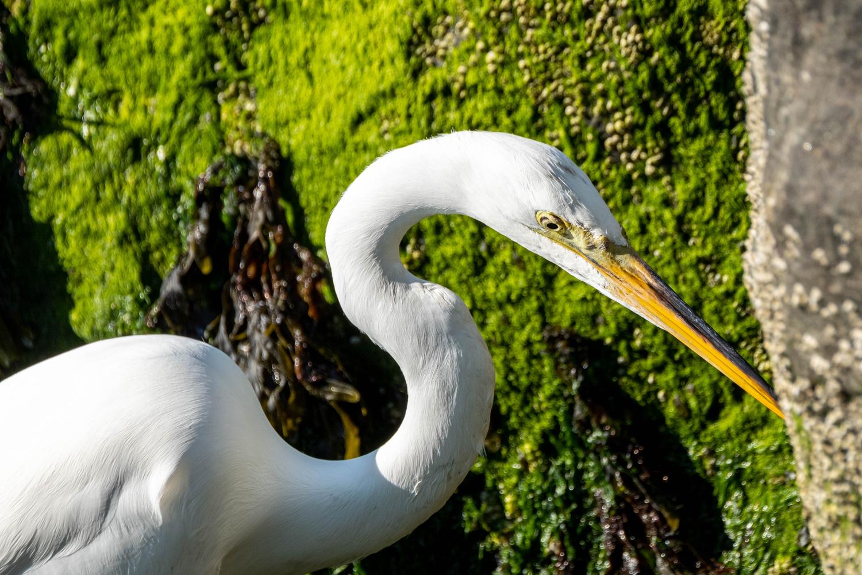 Great Egret by Mitchell Torjman