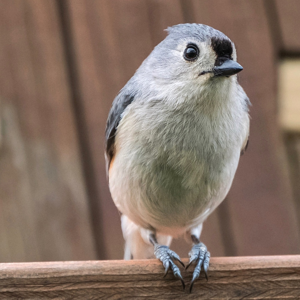 Tufted Titmouse by Mitchell Torjman