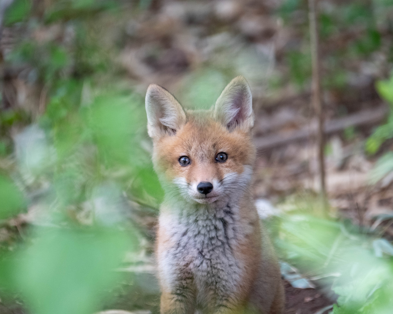 Red Fox Kit by Mitchell Torjman