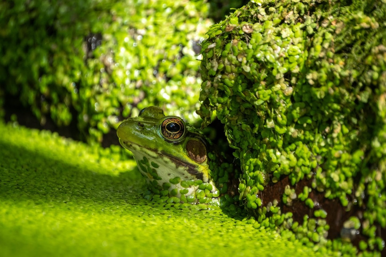 Dramatic bullfrog by Mitchell Torjman