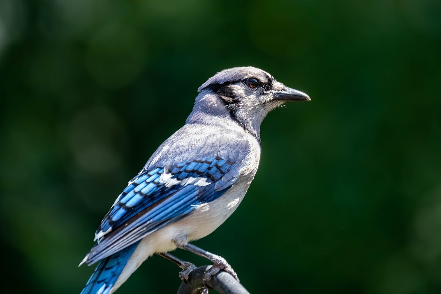 Colorful Bluejay by Mitchell Torjman