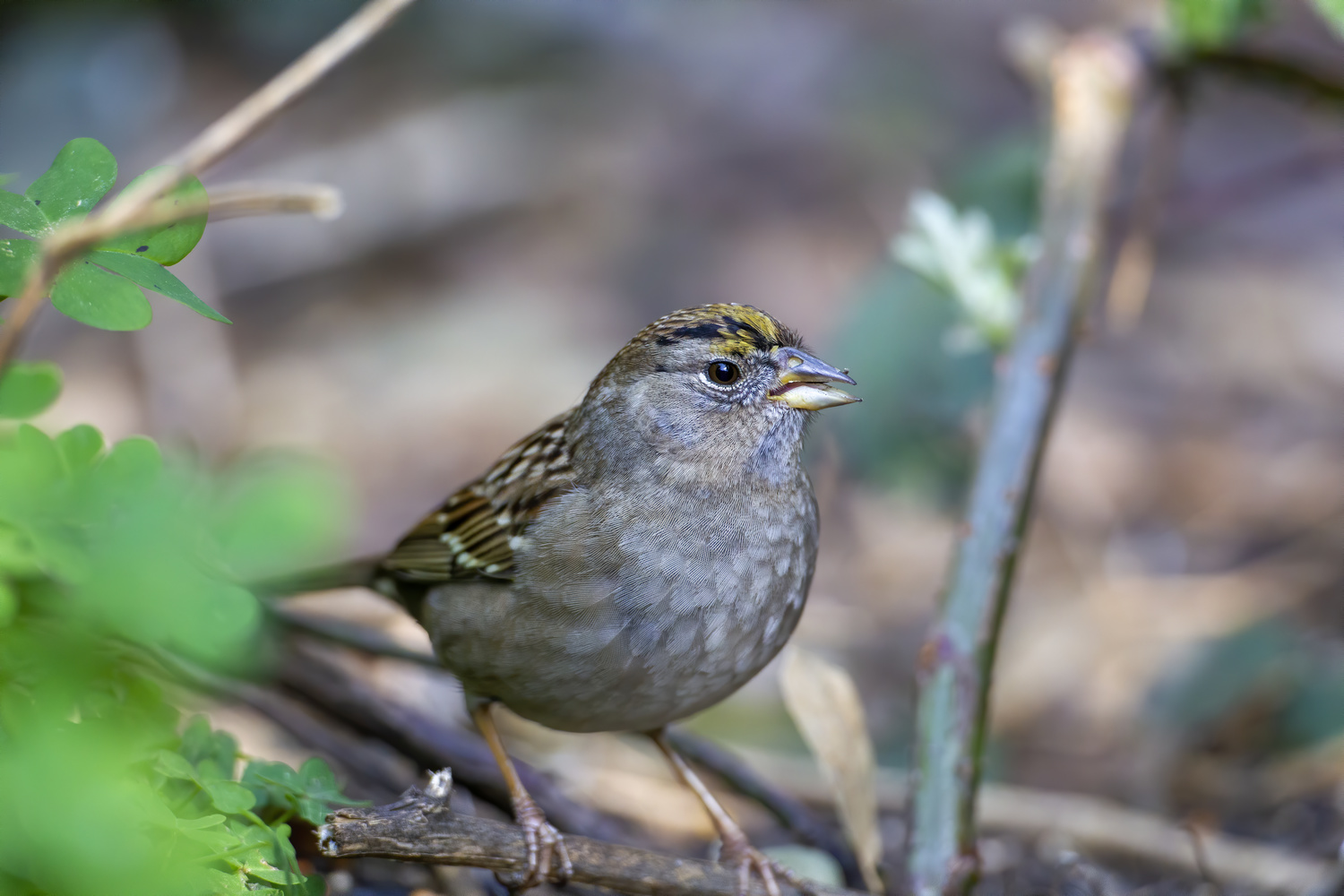 Golden-crowned Sparrow by Nickolas Thurston