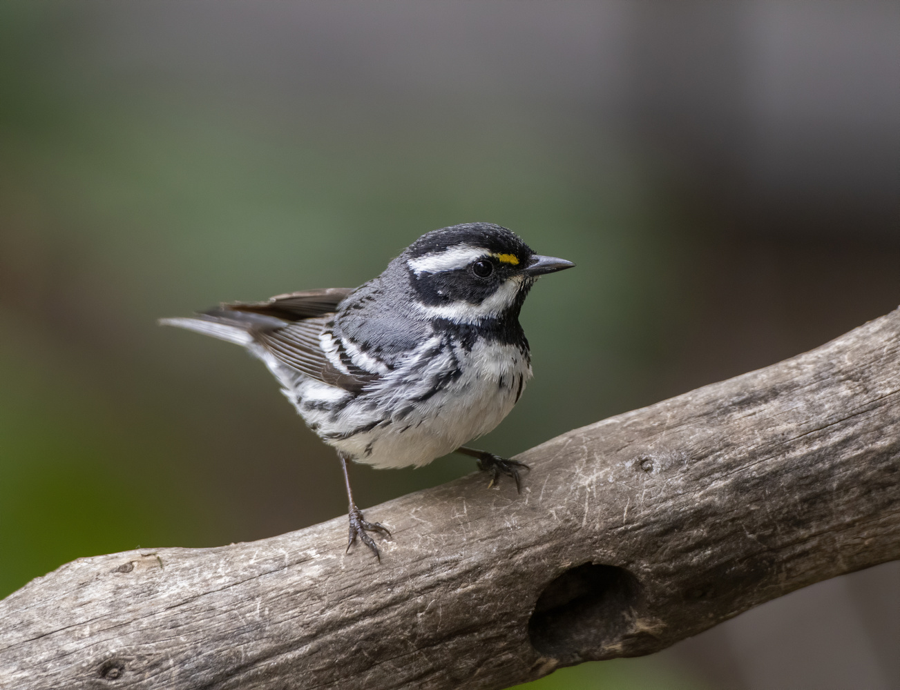 Black-throated gray warbler by Nickolas Thurston