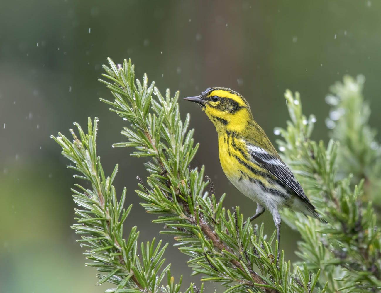 Townsend's warbler by Nickolas Thurston