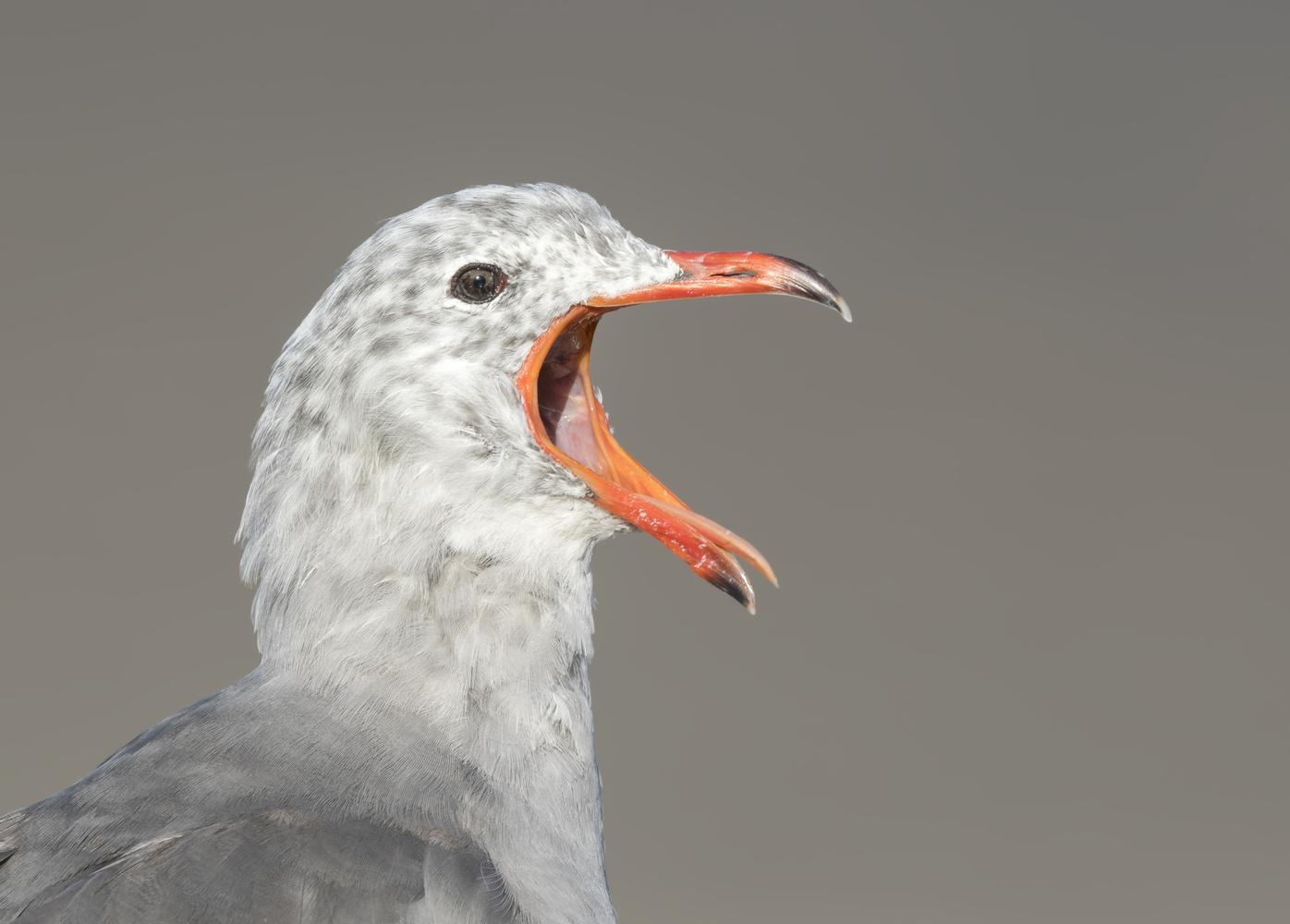 Heerman's Gull by Nickolas Thurston