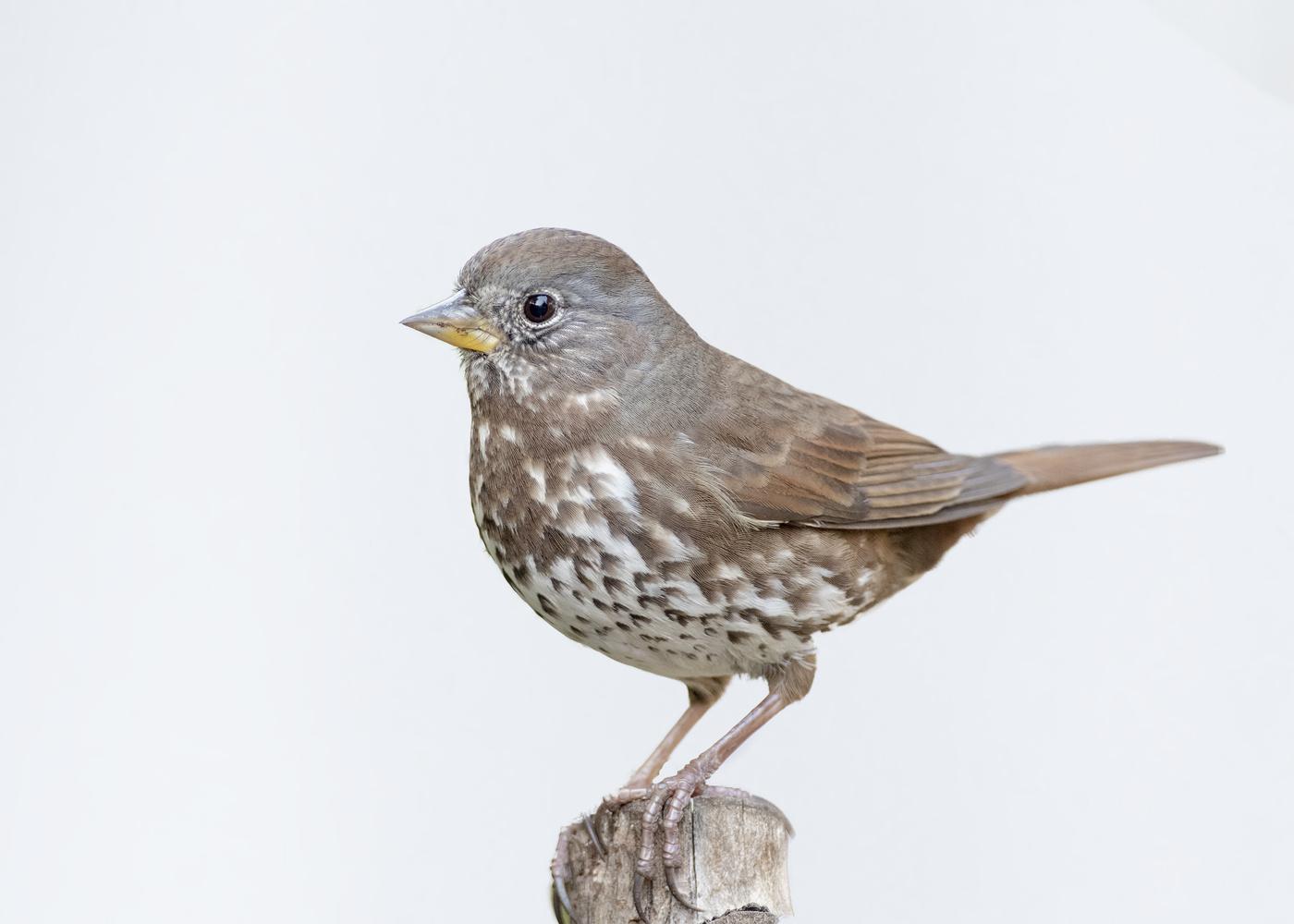 Fox Sparrow by Nickolas Thurston