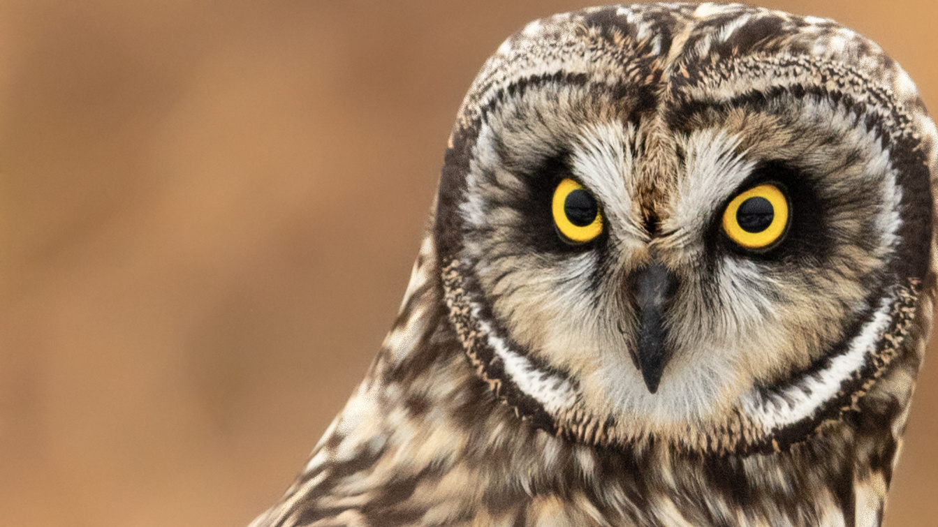 Short Eared Owl Closeup by Kyle Rohlfing
