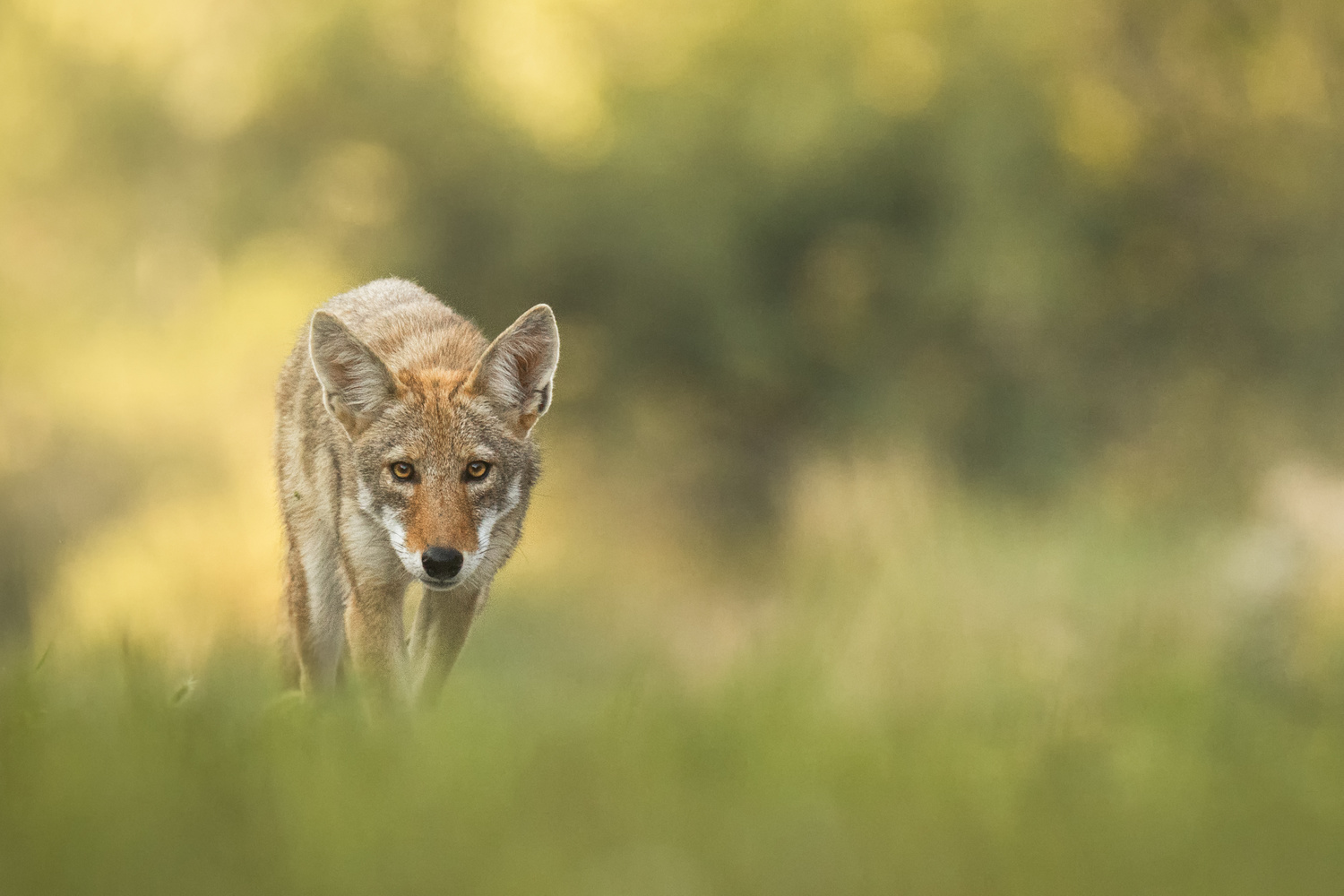 Coyote Stare by Kyle Rohlfing
