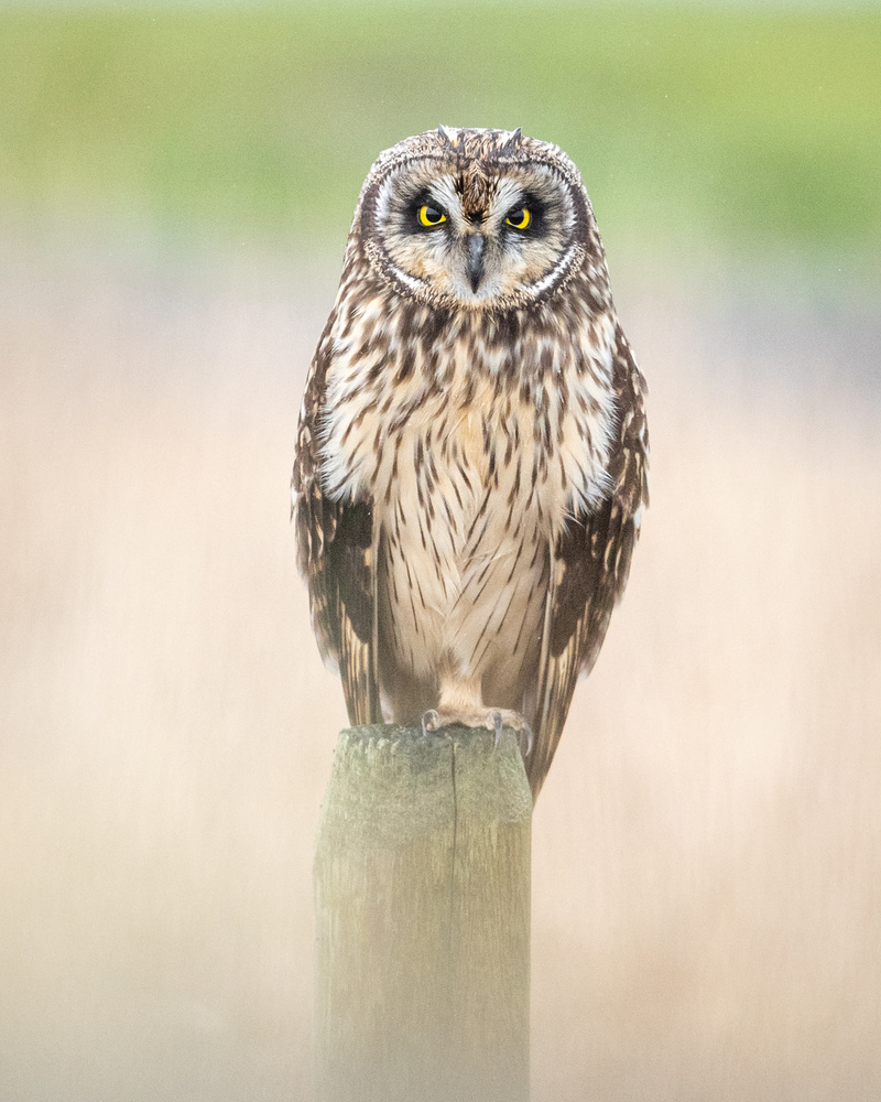 Short Eared Owl by Kyle Rohlfing