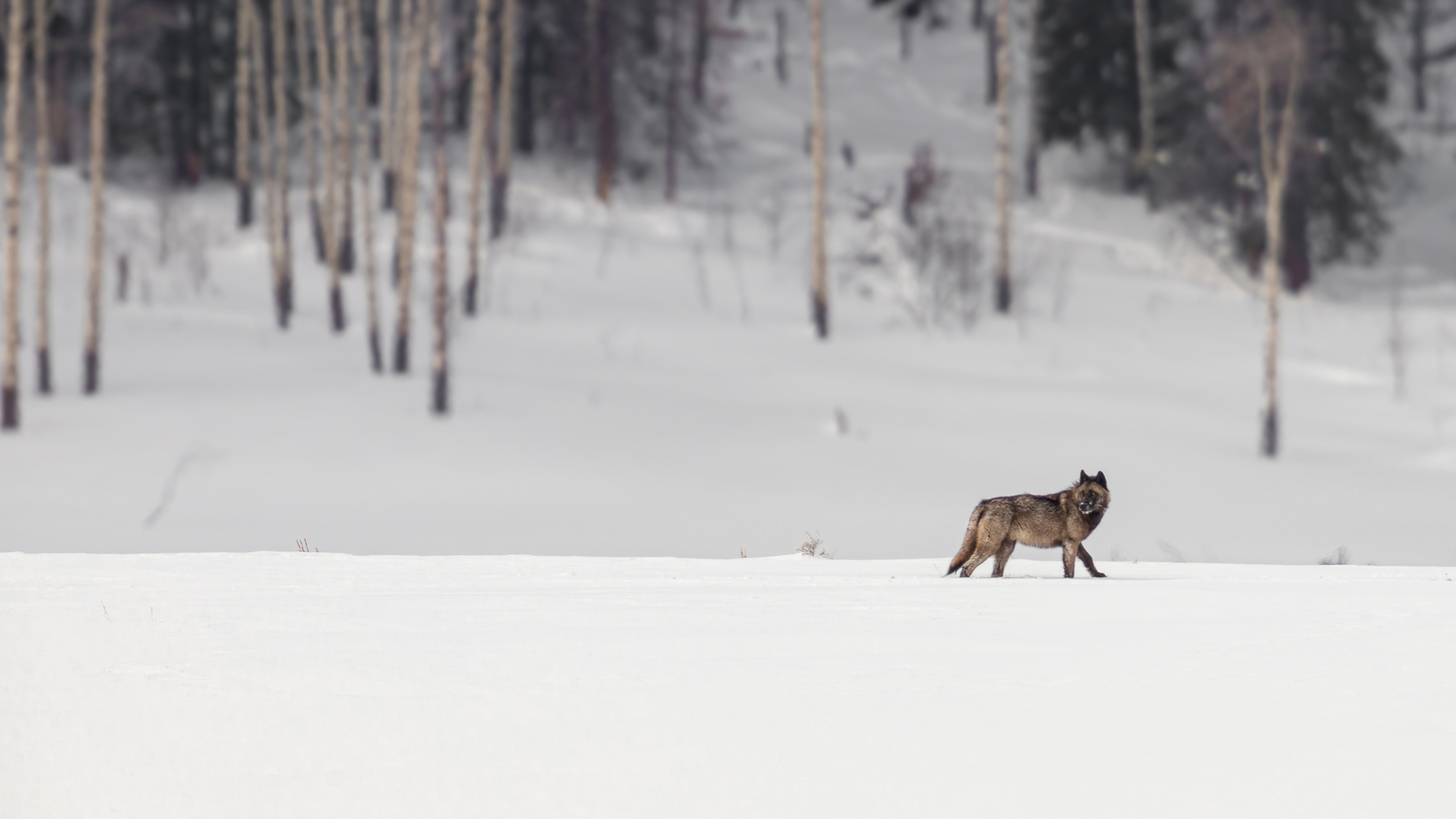 Yellowstone Black Wolf by Kyle Rohlfing