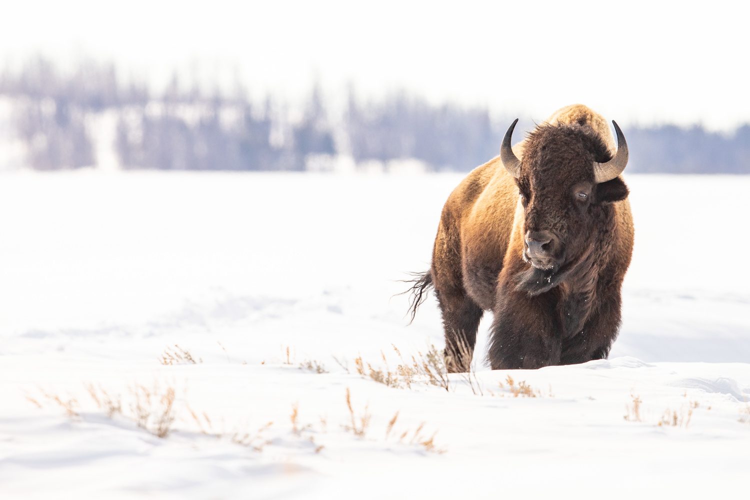 Bison in the Wind by Kyle Rohlfing