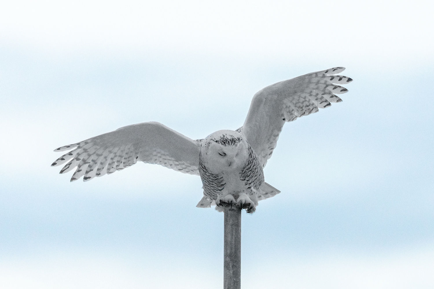 Snowy Owl by Kyle Rohlfing