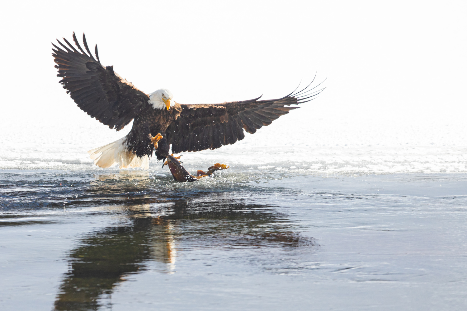 Bald Eagle Catching Trout by Kyle Rohlfing
