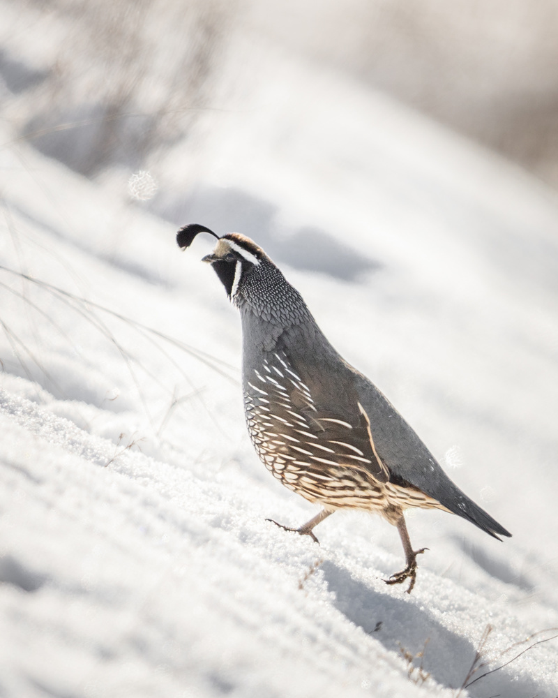 California Quail by Kyle Rohlfing