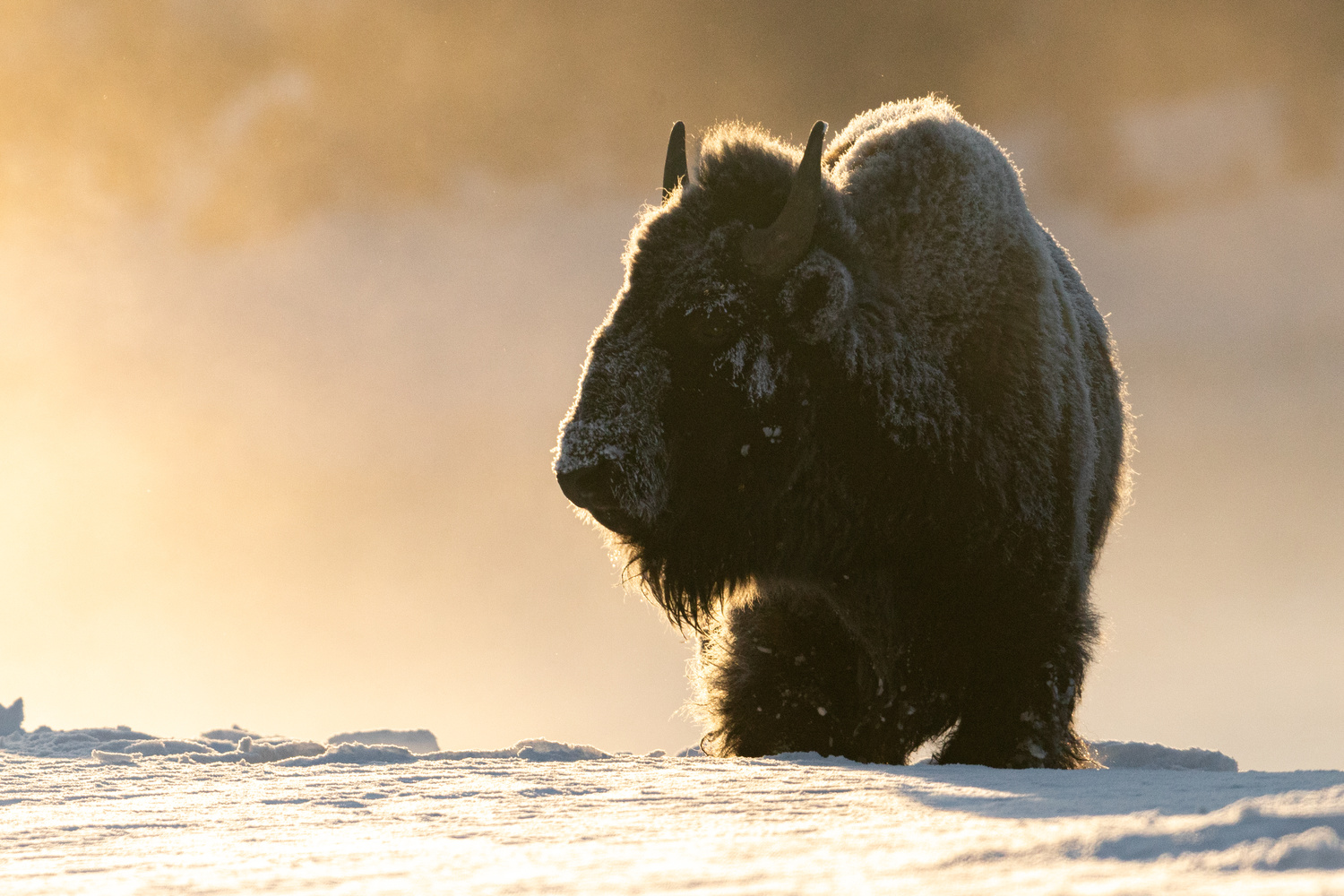 Early Morning Bison by Kyle Rohlfing