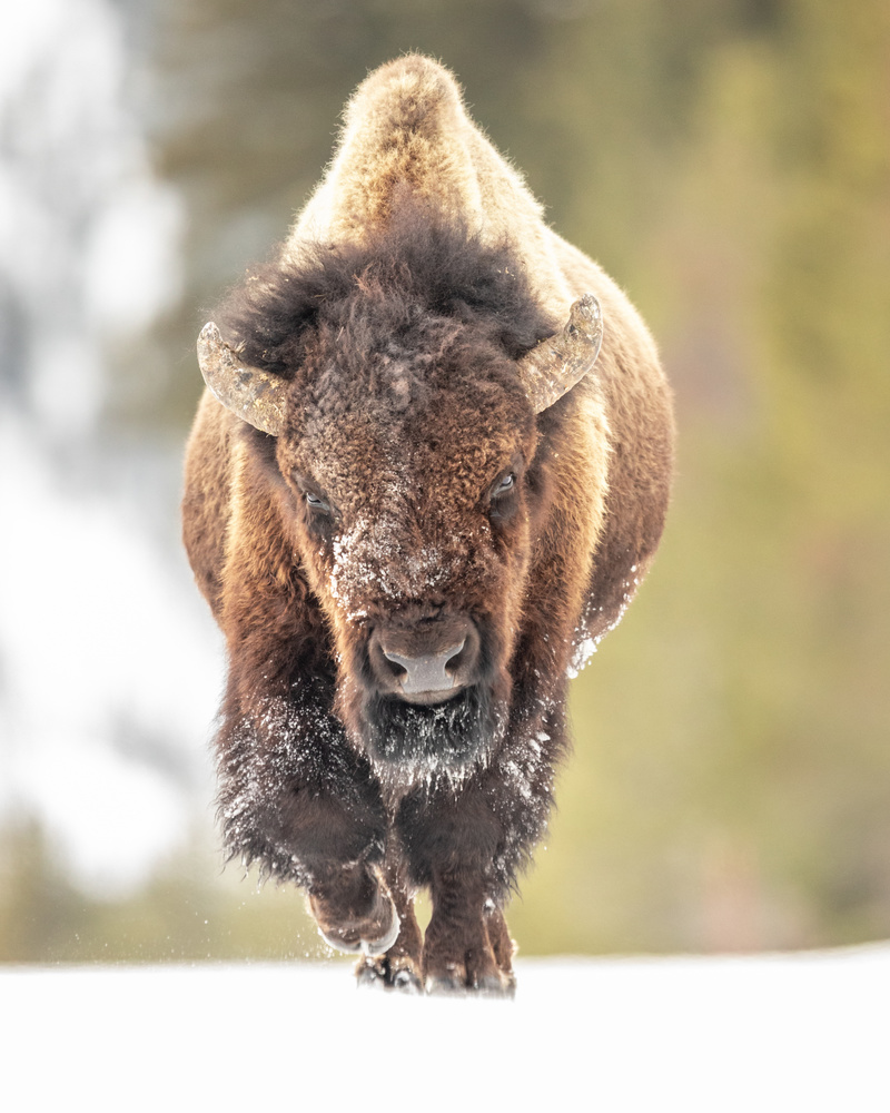 Yellowstone Bison by Kyle Rohlfing