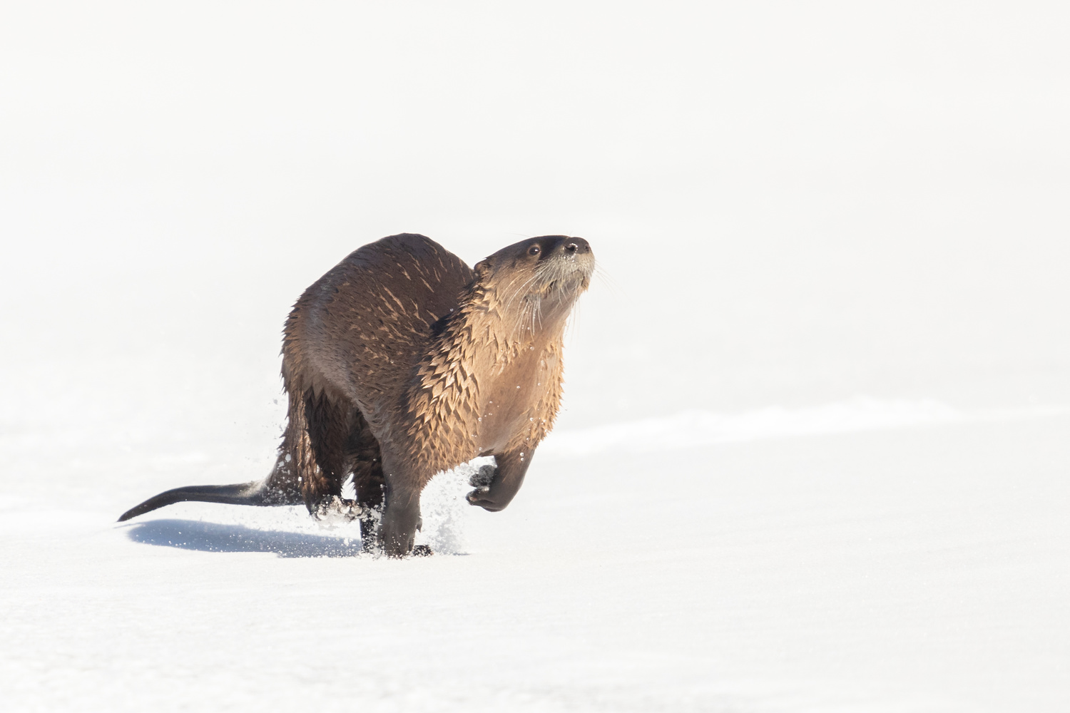 River Otter In The Snow by Kyle Rohlfing