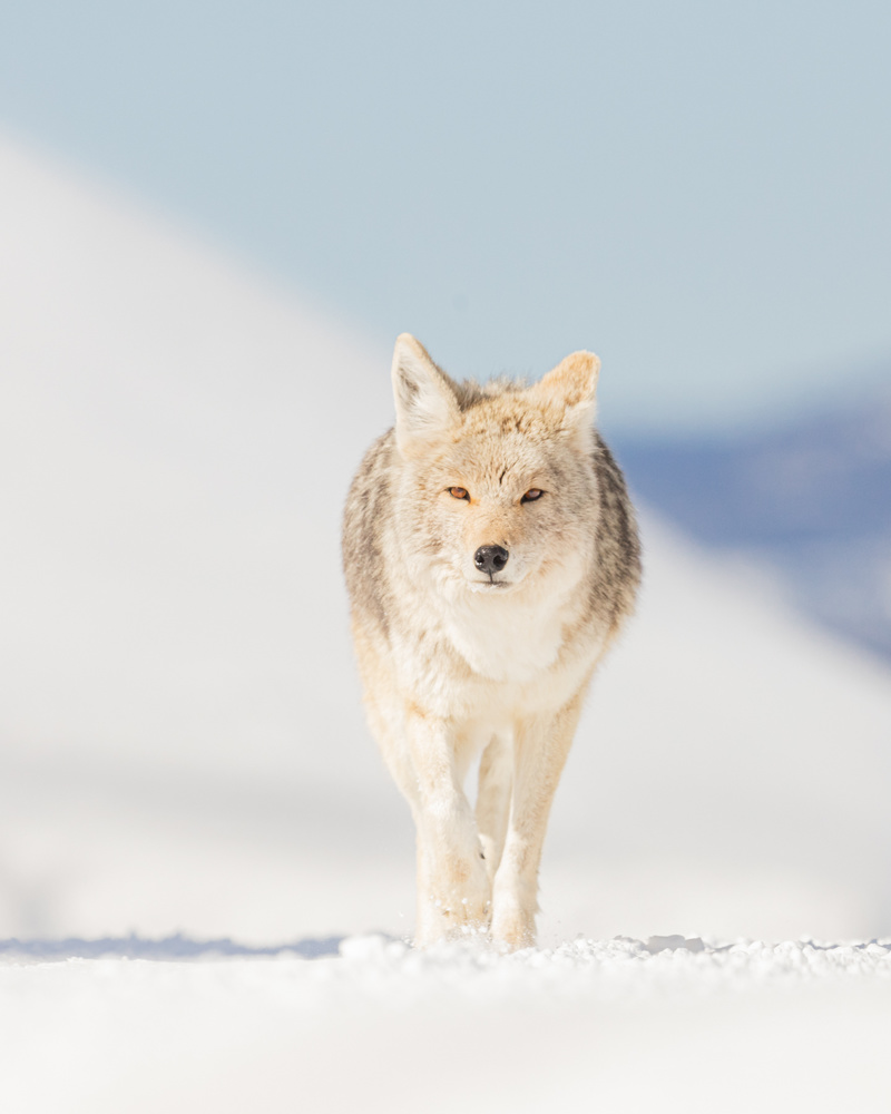 Yellowstone Coyote by Kyle Rohlfing