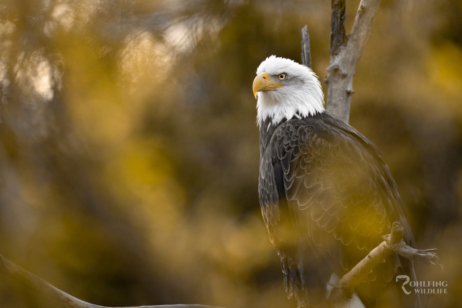 Bald Eagle by Kyle Rohlfing