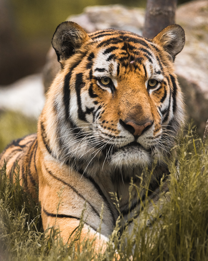 Tiger - Henry Doorly Zoo by Kyle Rohlfing