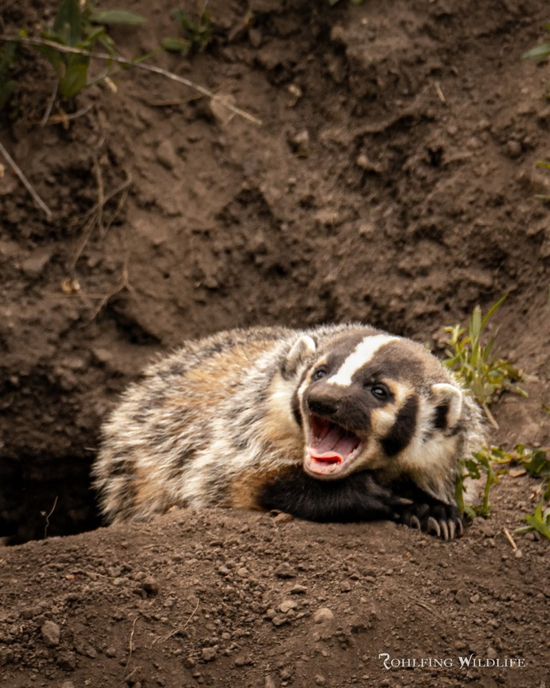 Badger Cub by Kyle Rohlfing
