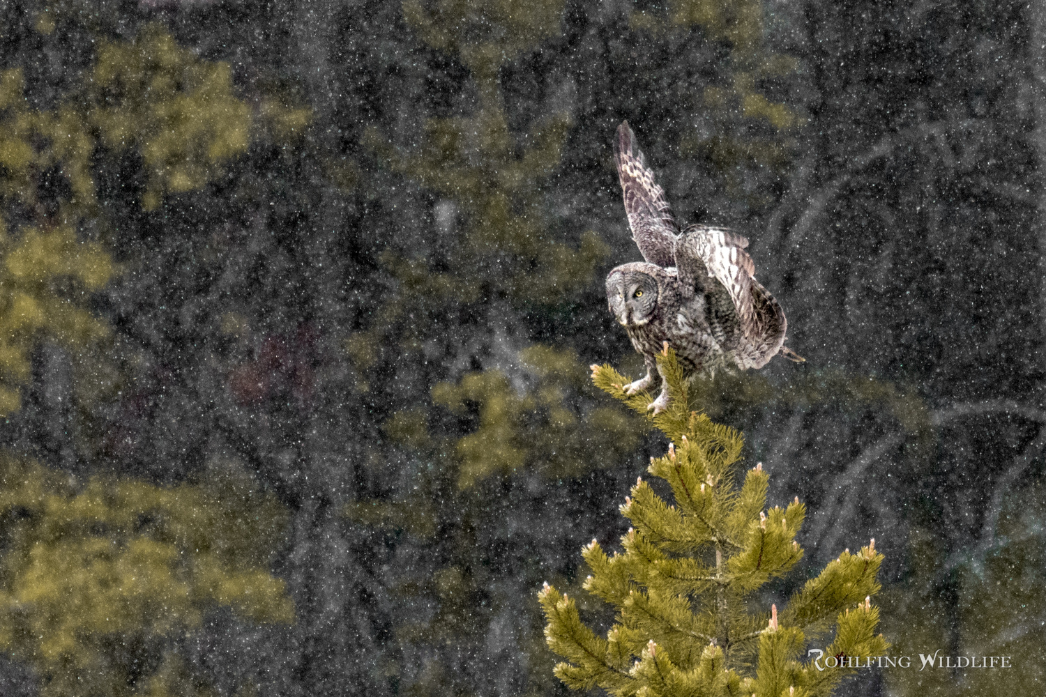 Great Gray Owl - Yellowstone Snow Storm by Kyle Rohlfing