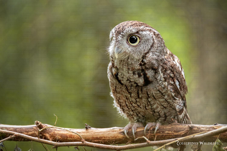 Eastern Screech Owl by Kyle Rohlfing
