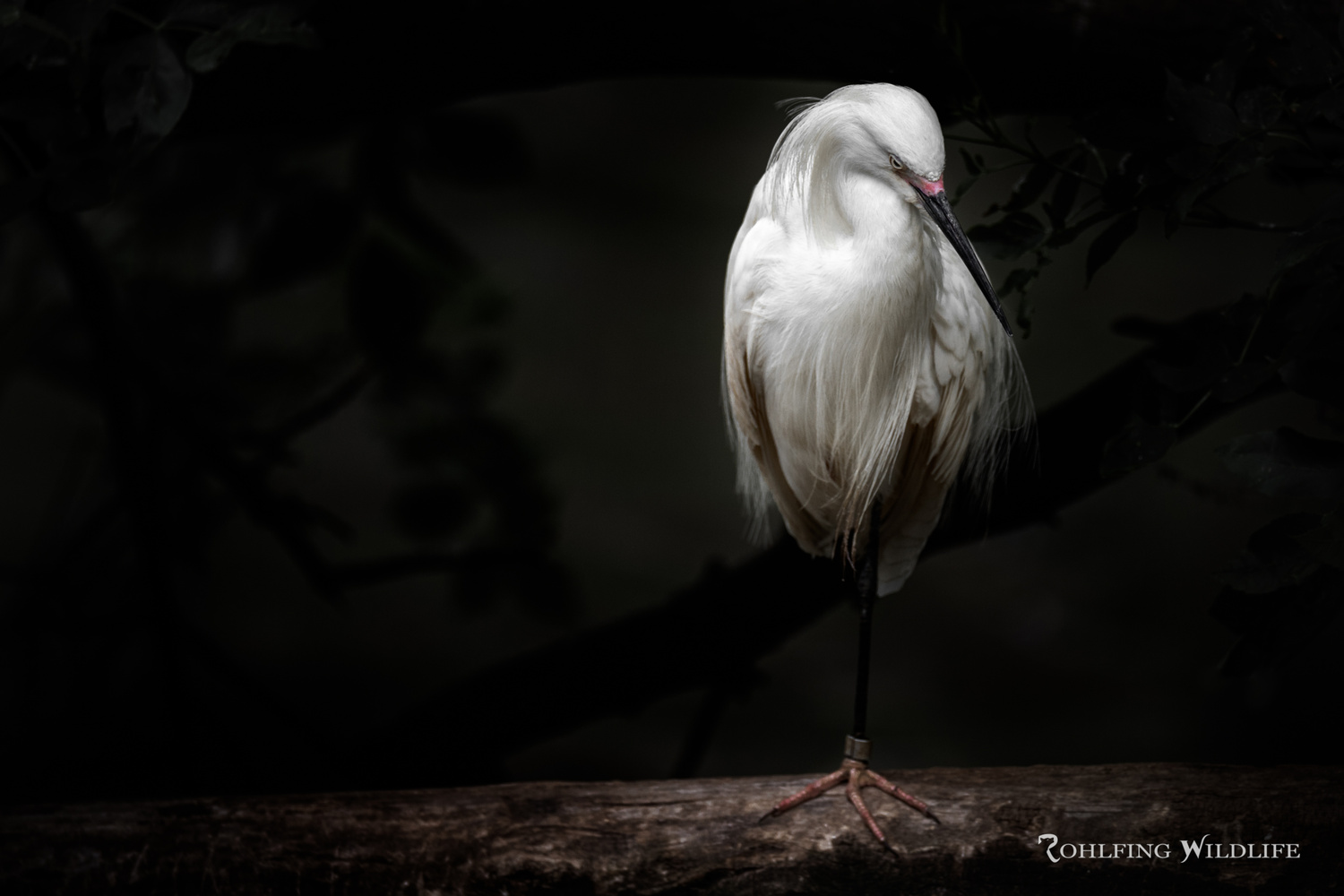 Creative Zoo Photography - Snowy Egret by Kyle Rohlfing