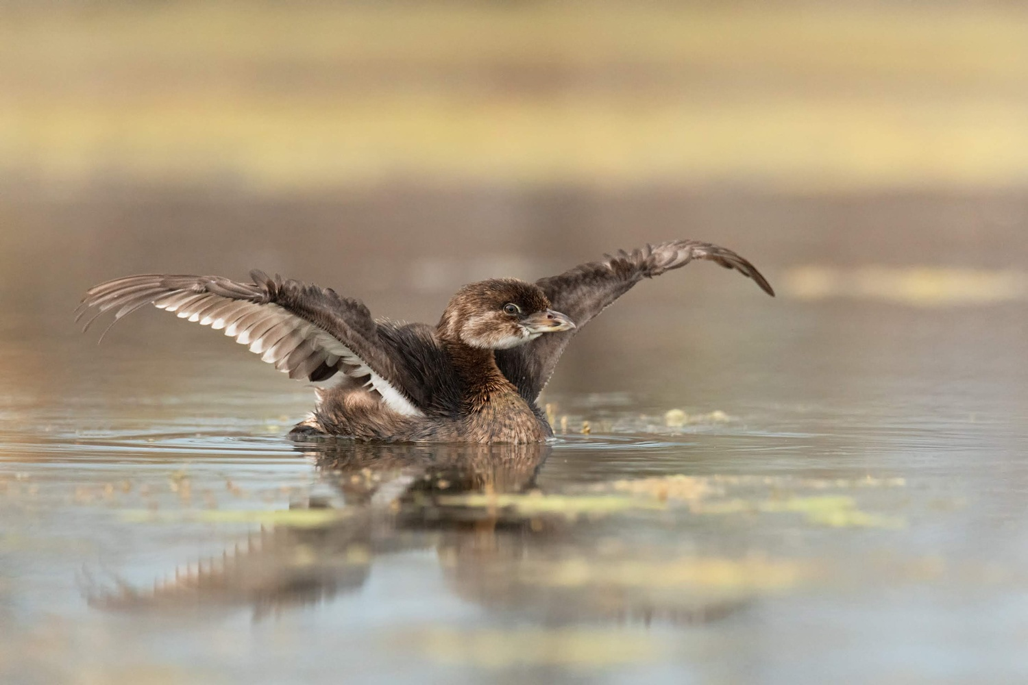 Pied Billed Grebe - Stretching His Wings by Kyle Rohlfing