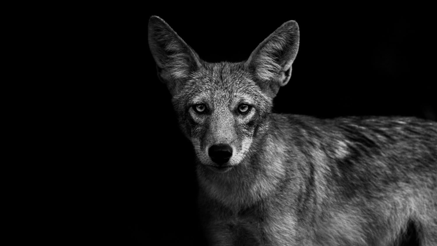 Black And White - Coyote by Kyle Rohlfing