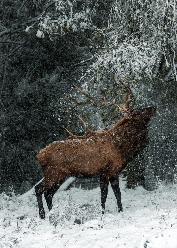 Winter Elk by Kyle Rohlfing