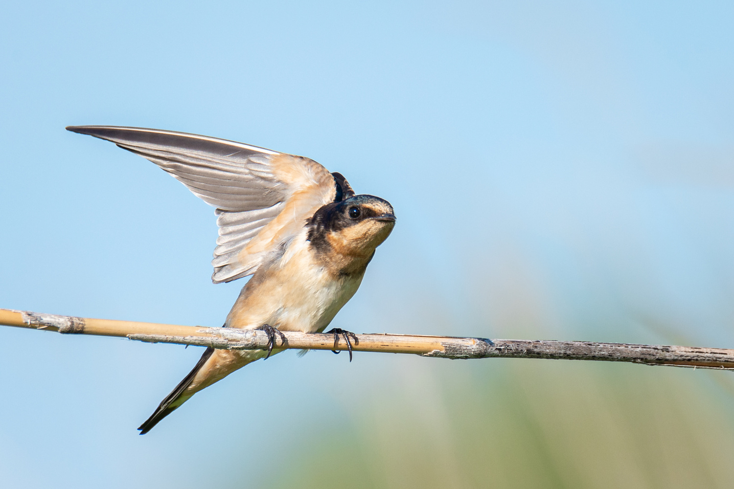 Barn Swallow Maintaining Balance by Kyle Rohlfing