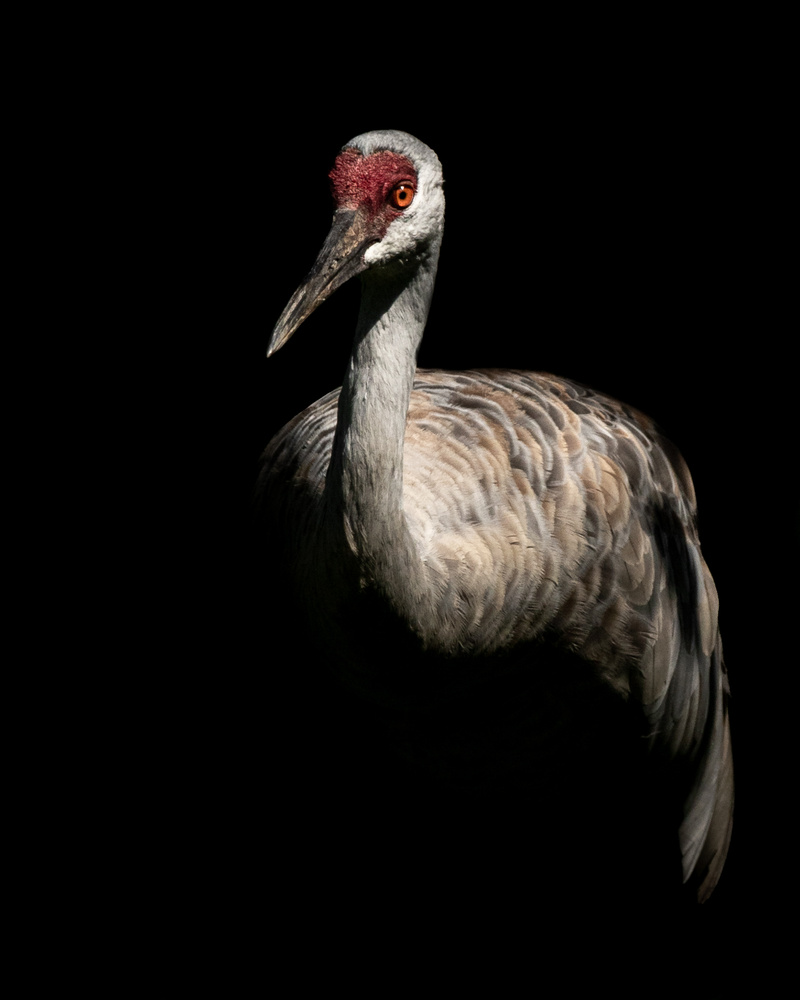 Sandhill Crane - Underexposed & Recovered by Kyle Rohlfing