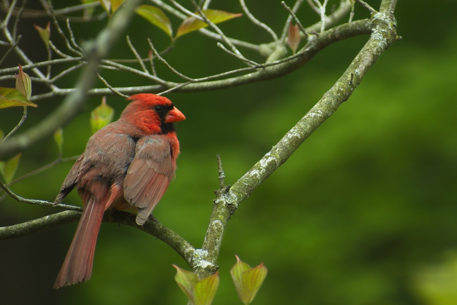Red bird, Green leaves. by Matthew Lacy