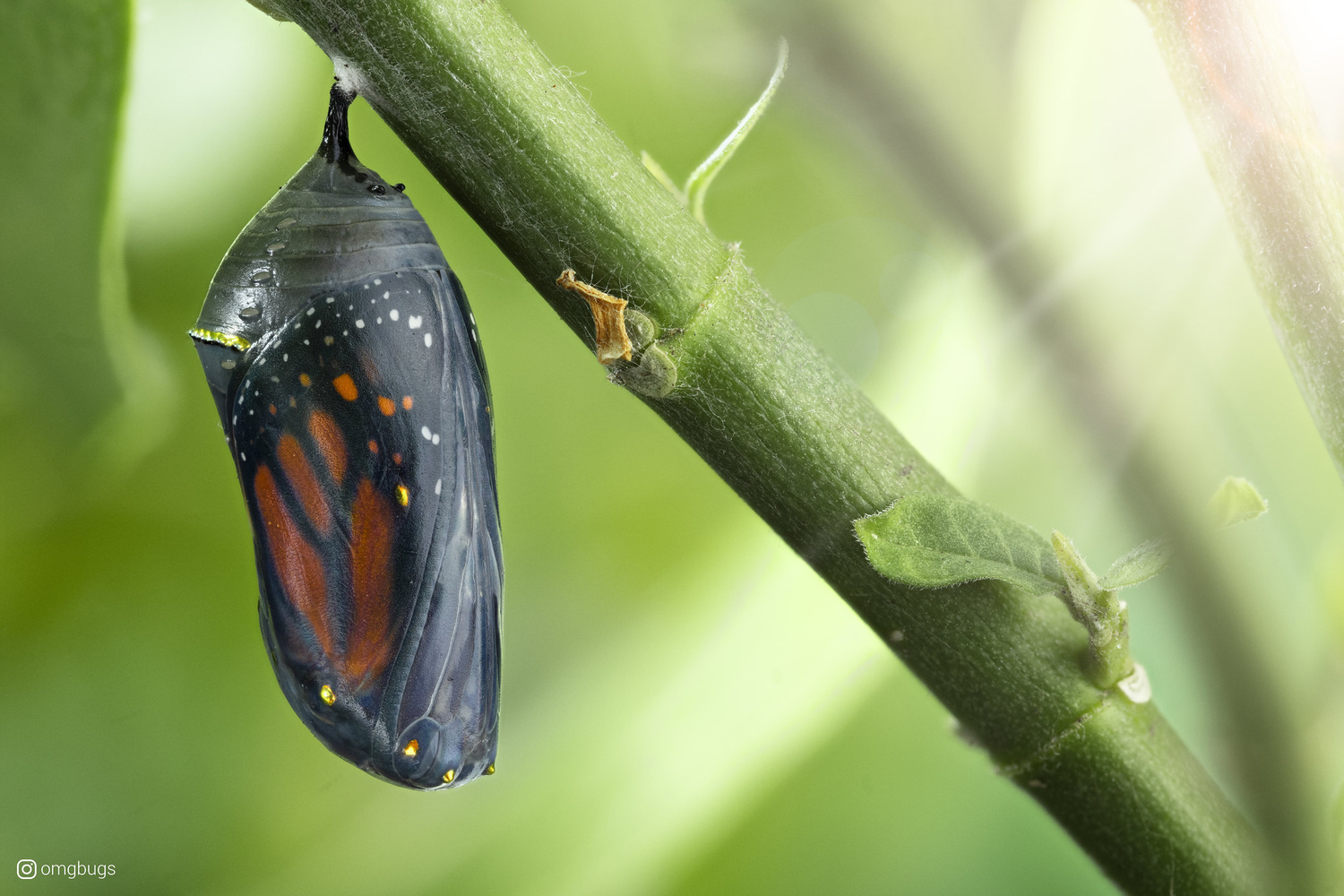 Butterfly Chrysalis - Today's the Day by Alberto Alanis