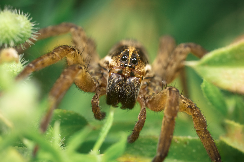 Backyard Wolf Spider by Alberto Alanis