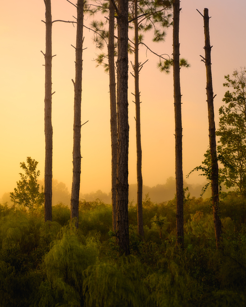 Pines Early Light by Paul Farace