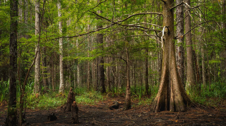 Cypress Swamp by Paul Farace