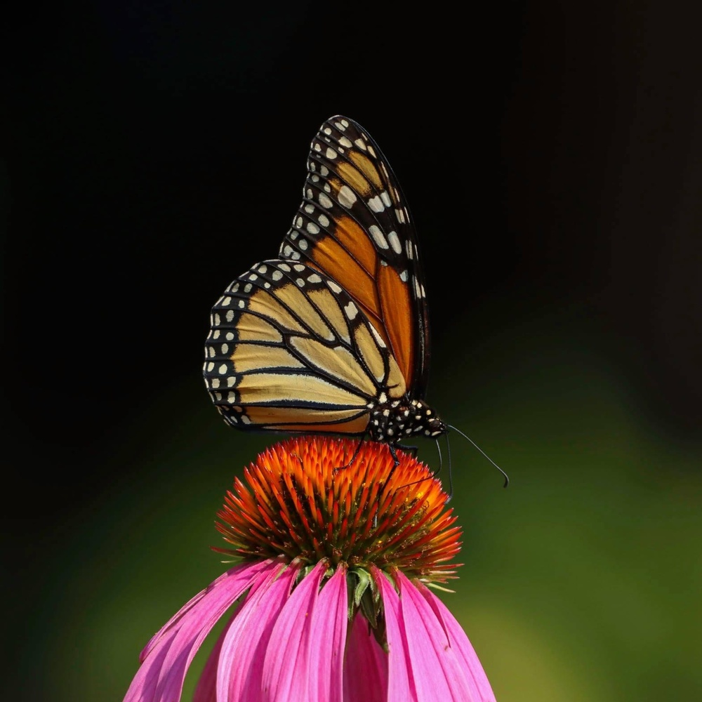Monarch Butterfly by Cynthia Johnson