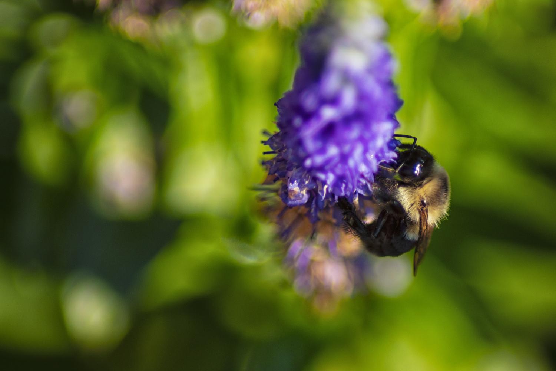 The Bumble Bee by Thomas Vasas