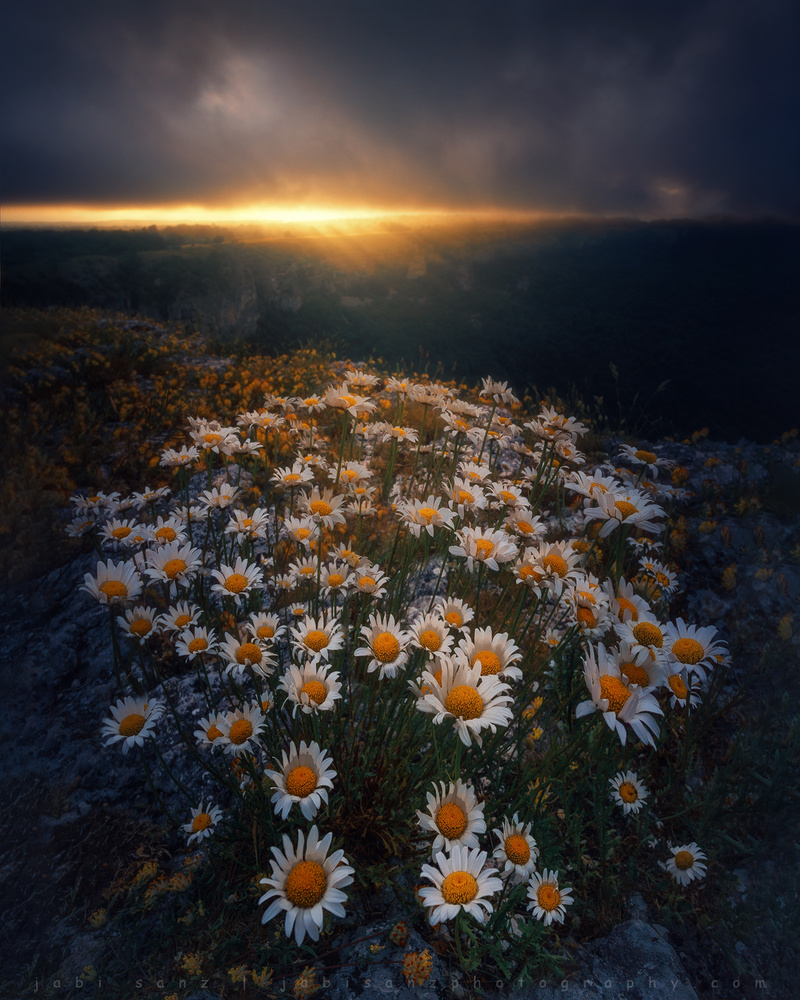 World's Daisies by jabi sanz
